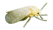 Pest Solutions Plus - White Flies