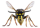 Pest Solutions Plus - Wasps