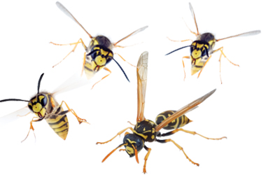 Pest Solutions Plus - Wasp and Hornet Protection